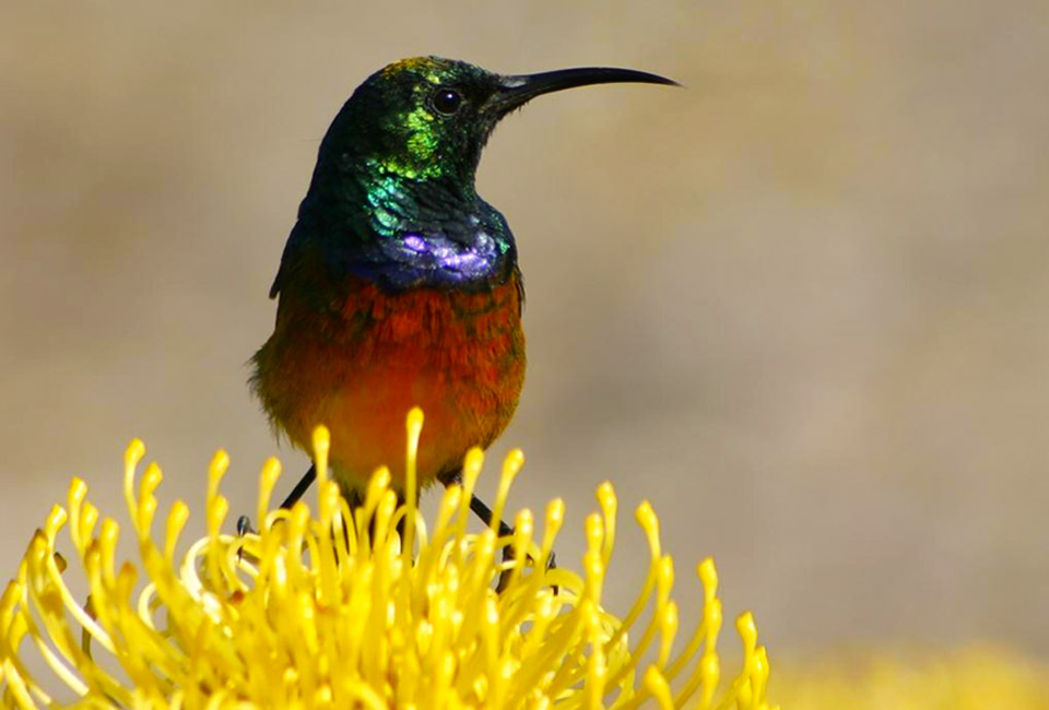Sunbird on Pincusion Protea