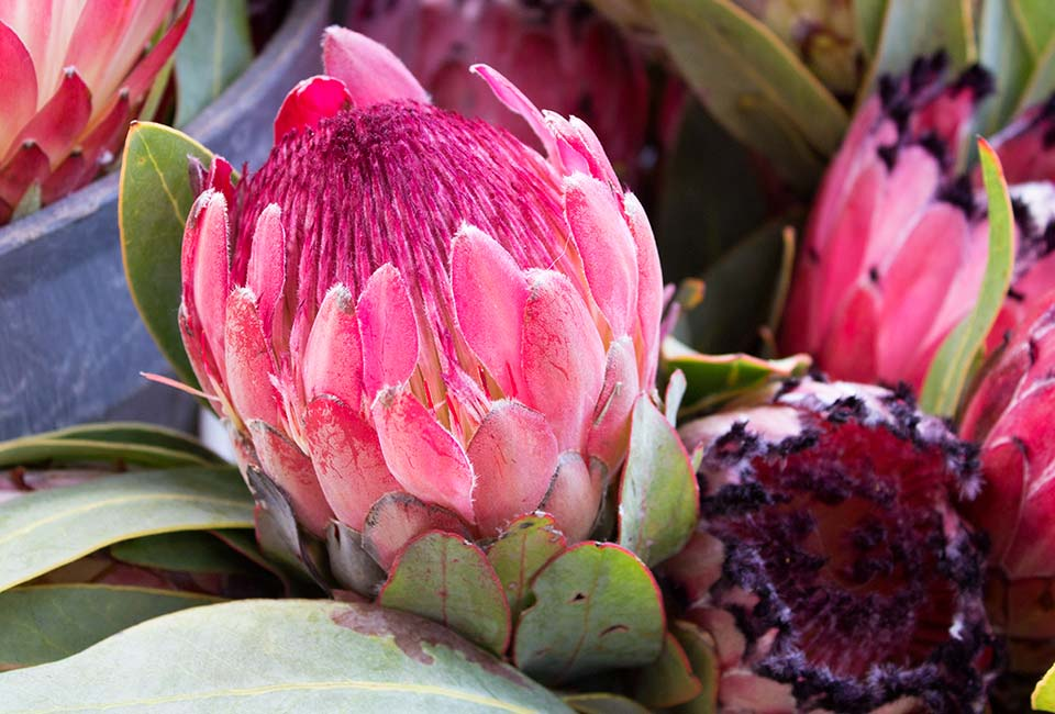 Hermanus King Protea