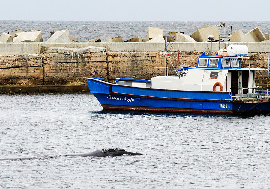 Whale in New Harbour