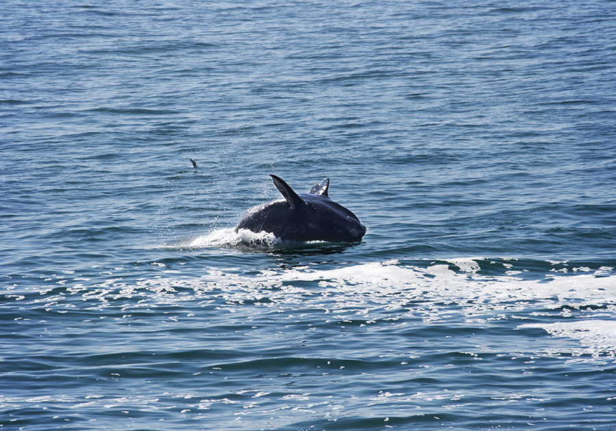 Whale Breaching in Hermanus
