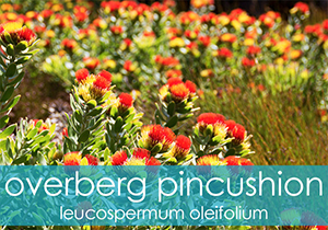 Overberg Pincushion Groups