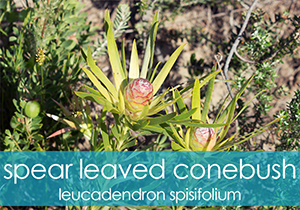 Spear Leaved Conebush