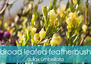 Broad Leafed Featherbush
