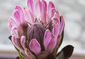 Sugarbush Protea Head