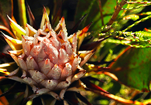 King Protea Closed Bud