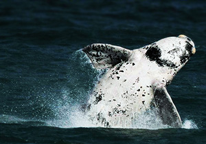 Albino Southern Right Whale in Hermanus