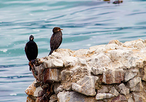 Crowned Cormorant and Black Cormorant