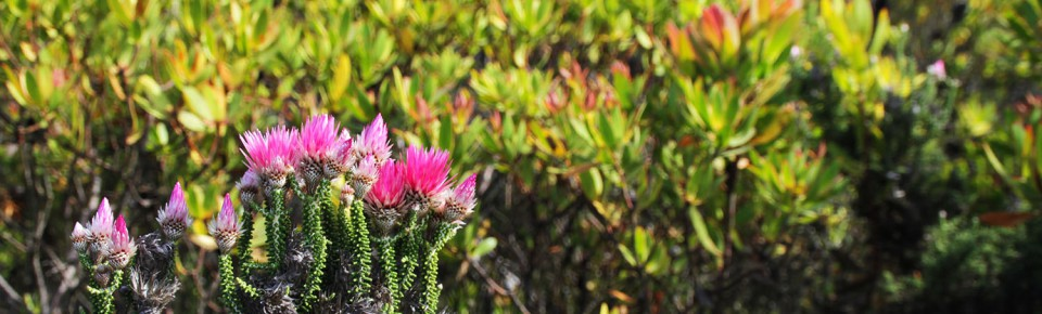 Fynbos in Hermanus